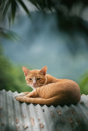 local thai cat sleep and play in different position photo