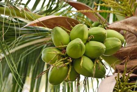 group of young coconut on the tree photo