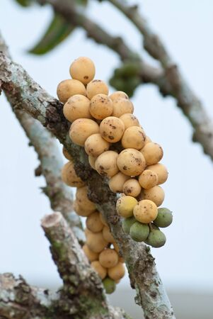 hemispherical: close up lansat fruit on the tree.