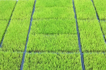perspective line  with rice field. photo