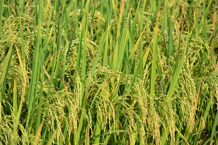 close up of mature rice plant in the field. photo