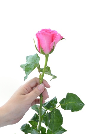 One pink rose in woman hand on white background. photo