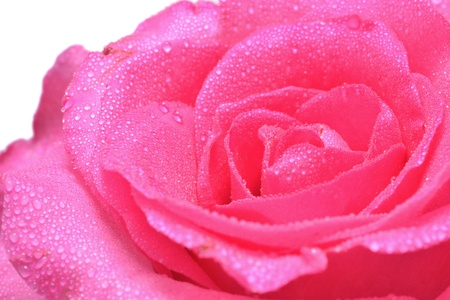 Close up view of pink rose on white background. photo