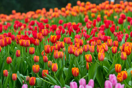 asian tulips: close up view of flower in the garden. Stock Photo