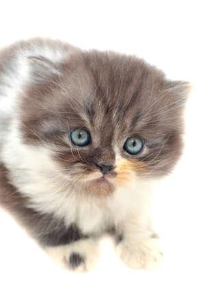 One persian kitten over white background. Stock Photo - 12511268