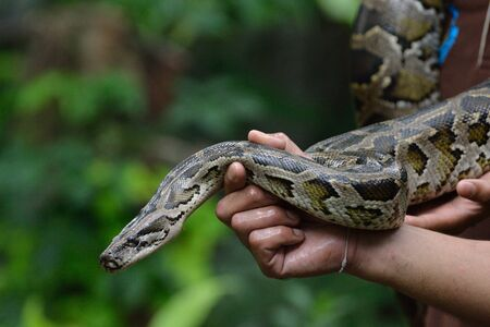 pythons: python Stock Photo