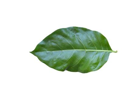 Green Noni leaf on white background.