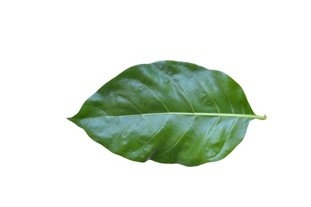 noni: Green Noni leaf on white background.