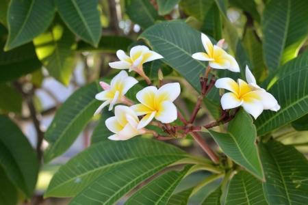 Beautiful white flower in thailand, Lan thom flower Stock Photo - 14868395