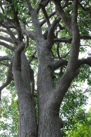 Close up big tree with nice branches form. photo