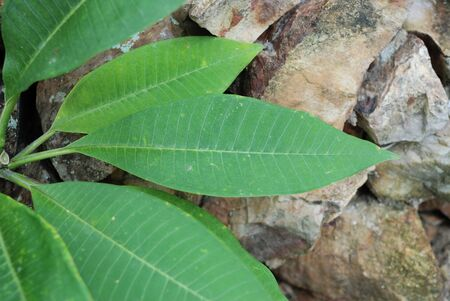diagonale: Abstract green leaves on rock background. Stock Photo