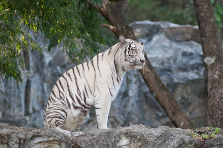 WHITE TIGER on a rock in zoo. photo