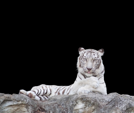 WHITE TIGER on a rock over  black background. photo