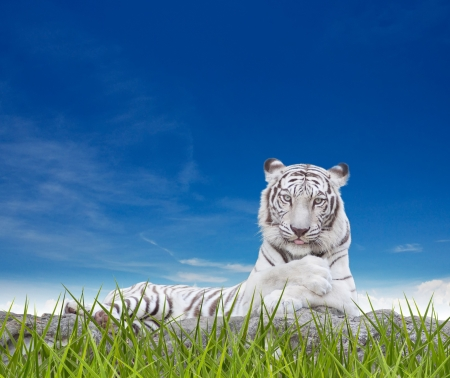 WHITE TIGER on a rock over nature background. photo