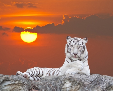WHITE TIGER on a rock over sunset background. photo