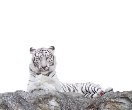 WHITE TIGER on a rock over white background. photo