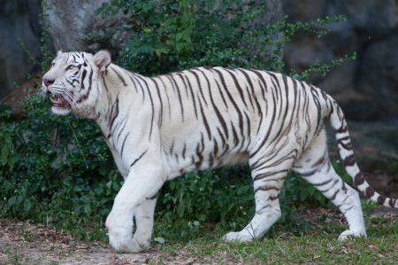 TIGRE BLANCO photo