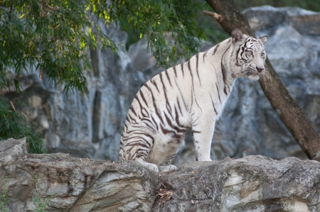 WHITE TIGER Stock Photo - 17374540