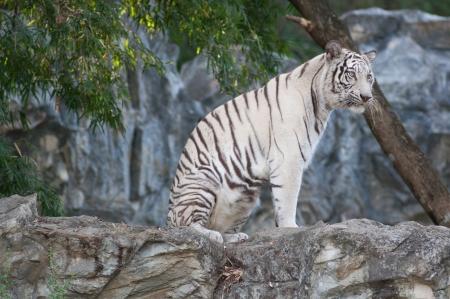 WHITE TIGER Stock Photo - 17374540