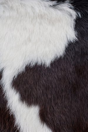 cow hide: Close up of cow skin texture.