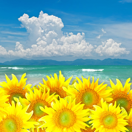 Sunflowers with Nice clear beach in bright blue sky day background. photo