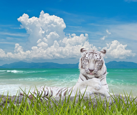WHITE TIGER with nature background. photo