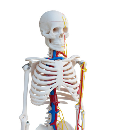 Skeleton model with blood supply isolated on white background with working path. photo