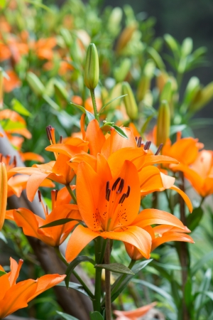 lily in summer. photo