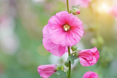 tiefe: Close up rosa Blume seichte Tiefe des Feldes. Lizenzfreie Bilder