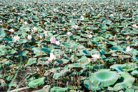 Lotus in River photo