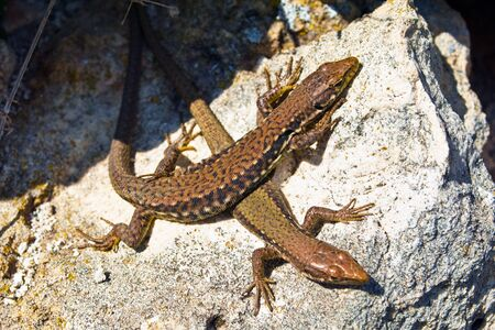 A lizards basks in the sun photo