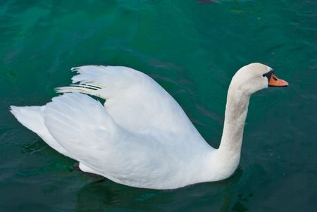 Swans float in salt water in city Sevastopol photo