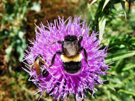 Bumblebee and bee on a flower of a burdock photo