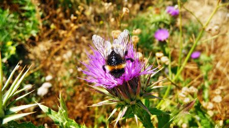 Bumblebee on a flower of a burdock photo