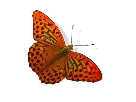 Butterfly, isolated picture