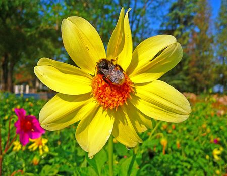 A bumble - bee sits on a flower photo