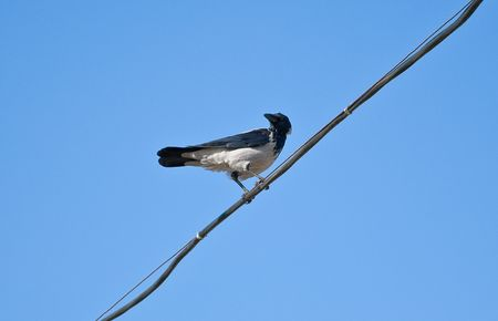 a crow sits on a wire photo