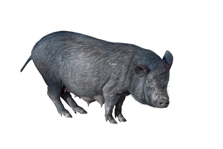 vietnamese potbellied pig  in front of a white background Stock Photo