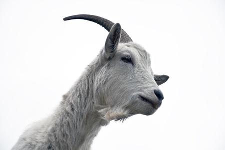 Retrato de cabra blanco sobre un fondo blanco