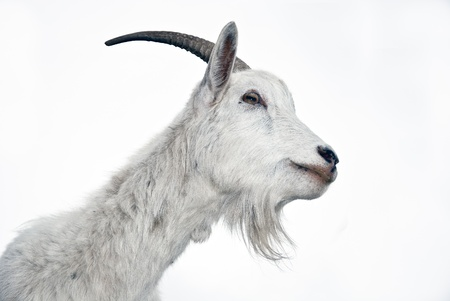 Portrait of white goat on a white background