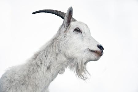 Retrato de cabra blanco sobre un fondo blanco  Foto de archivo