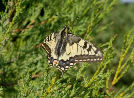 the Batterfly Papilio machaon photo