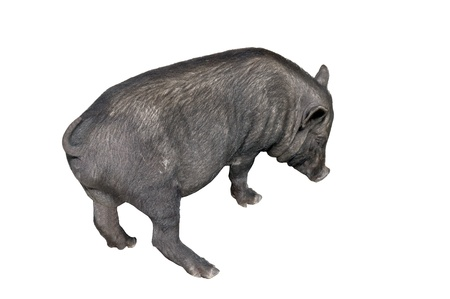 vietnamese potbellied pig  in front of a white background photo