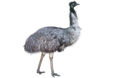 Emu aisladas sobre fondo blanco Foto de archivo - 13706676