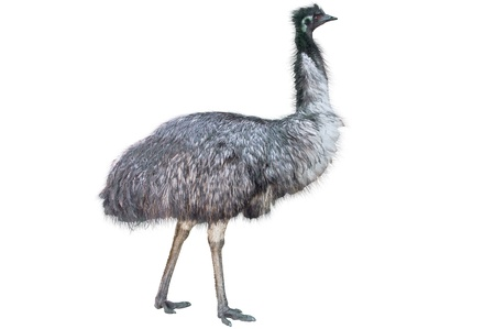 Emu isolated on white background Фото со стока - 13706676