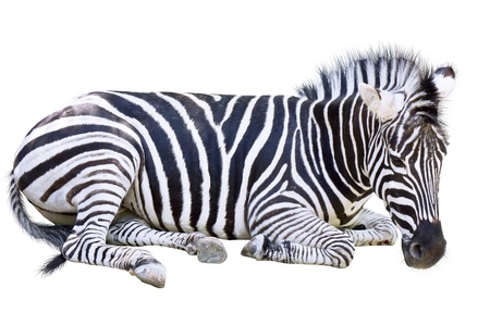zebra isolated on white background photo