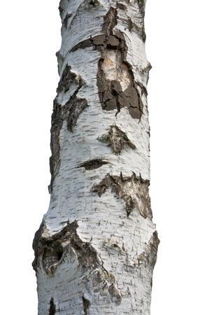 白い背景に分離された白樺ツリーを閉じる 写真素材