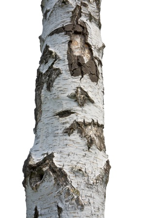 Close Up Birch Tree Isolated on White Background Stock Photo