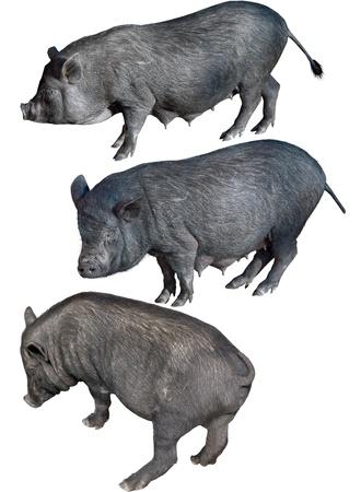 白い背景の前にベトナムのポットベリー豚