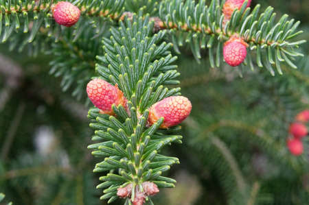 Beautiful cones on a spruce branch photo